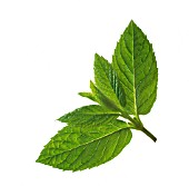 MENTHA x PIPERITA, (PEPPERMINT)