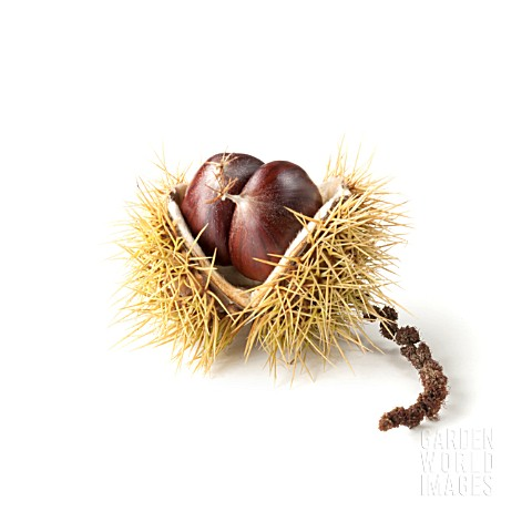 CASTANEA_SATIVA_SWEET_CHESTNUT