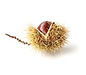 CASTANEA SATIVA, SWEET CHESTNUT