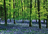 HYACINTHOIDES, BLUEBELL WOOD