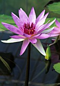 NYMPHAEA 'WOODS BLUE GODDESS', WATER LILY