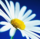 ANTHEMIS, MAYWEED