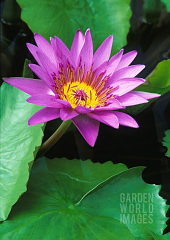 NYMPHAEA_DIRECTOR_GEORGE_T_MOORE_WATER_LILY