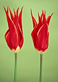 TULIPA QUEEN OF SHEBA, TULIP