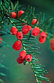 TAXUS BACCATA, YEW