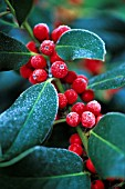 ILEX X ALTACLERENSIS, HOLLY