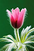 PULSATILLA VULGARIS, PASQUE FLOWER