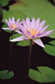 NYMPHAEA CAPENSIS CAPE BLUE, WATER LILY, BLUE LOTUS