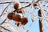 MALUS DOMESTICA, APPLES ENCASED IN ICE