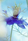 NIGELLA DAMASCENA, (LOVE-IN-A-MIST)