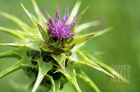 FP_GC0447- SILYBUM MARIANUM, MILK THISTLE, BLESSED MAR ...