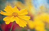 COREOPSIS AURICULATA, COREOPSIS