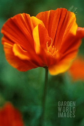 ESCHSCHOLZIA_CALIFORNICA_MISSION_BELLS_POPPY__CALIFORNIAN_POPPY