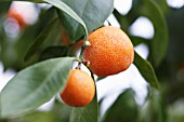 CITRUS SINENSIS, ORANGE