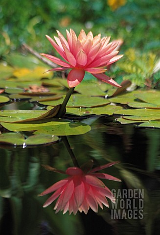NYMPHAEA_WATER_LILY