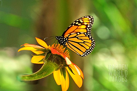 MONARCH_BUTTERFLY_CLOSE_UP