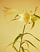 LONGIFLORUM 'WHITE EUROPE', LILY - EASTER LILY