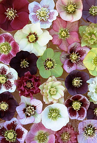 HELLEBORUS_ORIENTALIS_MIX_MIXED_COLOURED_HELLEBORES