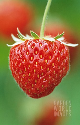 FRAGARIA_X_ANANASSA_PANDORA_STRAWBERRY