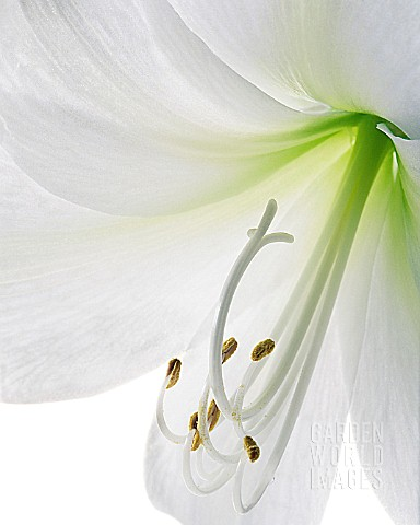 LILIUM_LONGIFLORUM_LILY__EASTER_LILY