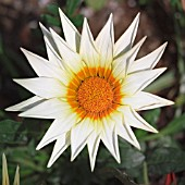 GAZANIA, GAZANIA, TREASURE FLOWER