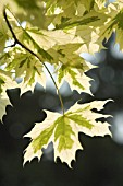 ACER PLATANOIDES VARIEGATA, MAPLE - NORWAY MAPLE VARIEGATED