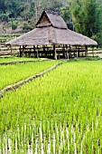 ORYZA SATIVA, RICE