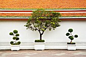 ORNAMENTAL TREES IN CONTAINERS