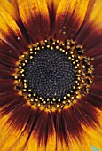 HELIANTHUS, SUNFLOWER