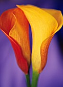ARUM, LILY - ARUM LILY, CALLA LILY
