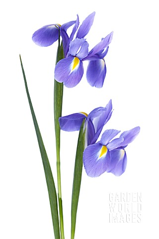 IRIS_DUTCH_BLUE_MAGIC_IRIS