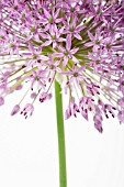 ALLIUM HOLLANDICUM PURPLE SENSATION, ALLIUM