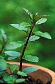 MENTHA PIPERITA, MINT - PEPPERMINT