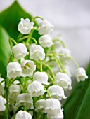 CONVALLARIA MAJALIS, LILY-OF-THE-VALLEY