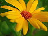 CALENDULA INDIAN PRINCE, MARIGOLD