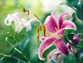 LILIUM, LILY - ORIENTAL LILY