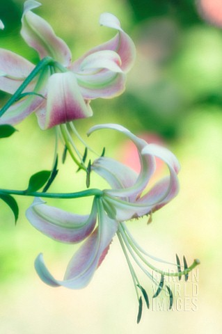 LILIUM_LILY__ORIENTAL_LILY