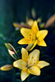 LILIUM, LILY - ASIATIC LILY