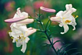 LILIUM LONGIFLORUM, LILY - EASTER LILY