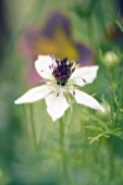 NIGELLA SATIVA, LOVE-IN-A-MIST
