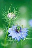 NIGELLA DAMASCENA, LOVE-IN-A-MIST