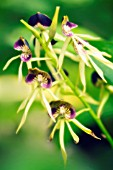 ENCYCLIA COCHLEATA, ORCHID