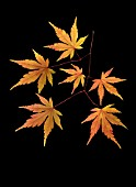 ACER JAPONICUM, JAPANESE MAPLE