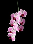 PHALAENOPSIS, ORCHID - MOTH ORCHID
