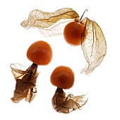 PHYSALIS, CHINESE LANTERN, CAPE GOOSEBERRY