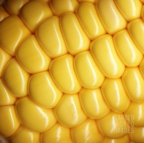 ZEA_MAYS_SWEETCORN