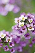 LOBULARIA MARITIMA ROYAL CARPET, ALYSSUM