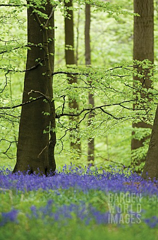 HYACINTHOIDES_NONSCRIPTA_BLUEBELL_WOOD