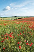 PAPAVER RHOEAS, POPPY FIELD