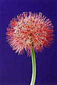 SCADOXUS MULTIFLORUS, BLOOD LILY
